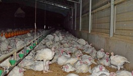 Turkey meat farming in Australia